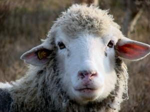 Sheepstockphoto_Sheep_4657225